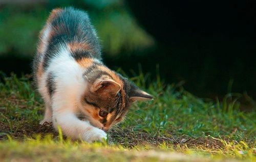 macska játszik