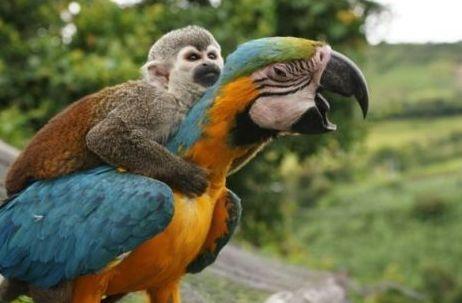 papagaj_majom