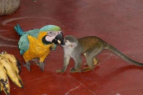 papagaj_majom2
