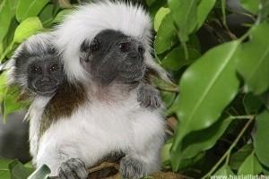 Liszt-majmocskák születtek a Miskolci Állatkertben