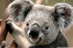 Halálos betegség tizedeli a koalákat - Csöndes gyilkos