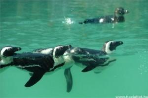 Új pingvinbemutató a Szegedi Vadasparkban