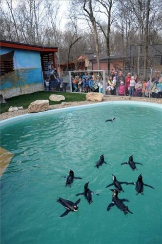 pingvin_bemutato_a_szegedi_vadasparkban_foto_kelemen_zoltan_gergely_2