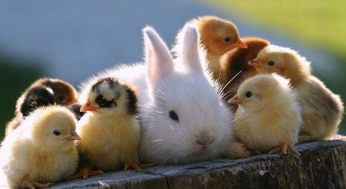 Húsvéti nyuszi húsvéti csibe