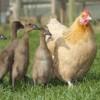 Véletlenül kacsákat költött ki a tyúkanyó