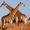 Új módszer a zsiráfok korának meghatározására