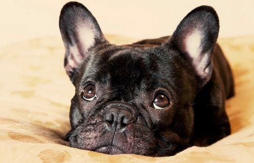 Kutya fertőző májgyulladása