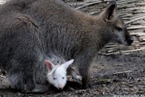Albínó kenguruk születtek Szegeden