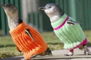 Ötszáz pingvinpulóvert akar kötni egy német nő