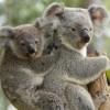 Védelmet kaptak a koalák