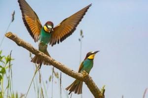 A gyurgyalag lett az év madara 2013-ban