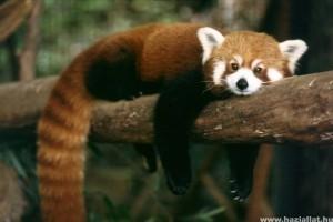 Leájult a fáról a panda - A tűzoltók hibáztak