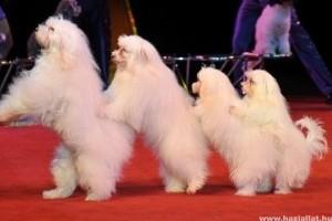 Táncoló kutyák az X-Fatorban - Videóval