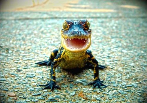 aligator_baby
