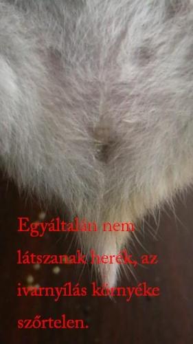 nőstény hörcsög nemi szervei