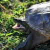Aligátorteknőst találtak a magyar patakban