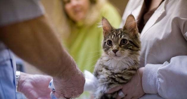 A macskasérülések kezelése - népi gyógymóddal