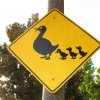 Ötezer kacsát hajtott forgalmas úton egy kínai - Videóval