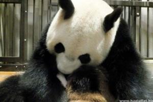 Megszülettek 2012 első kínai pandaikrei