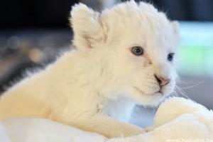 Fehér oroszlánkölykök születtek Ukrajnában