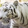 Fehér tigrisek érkeztek a Nyíregyházi Állatparkba