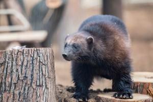 Új lakó érkezett a pécsi állatkertbe: egy rettenthetetlen tagadozó rozsomák