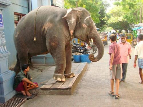 elefant_indiaban