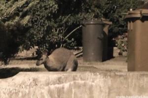 Városnéző körutat tett a nyíregyházi kenguru szökevény