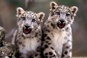 Himalájai hópárducok élőhelyének 30%-a eltűnhet a globális felmelegedés miatt