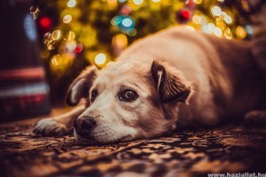 Karácsonyi kutyabajok: erre figyelj, hogy megelőzd a bajt!
