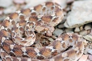 Életveszélyes kígyót fogott a nagyi konyhai csipesszel