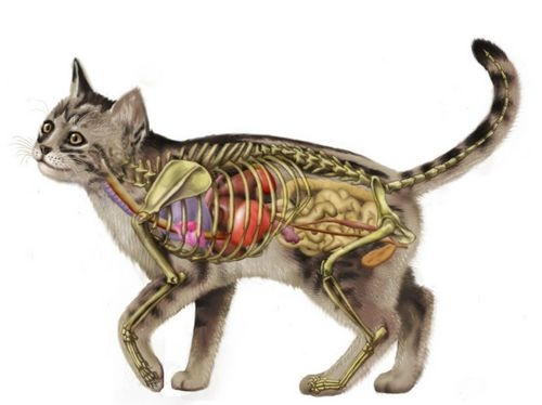 macska anatómia