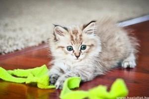 Macska kiválasztása: honnan, milyet, milyen neműt?