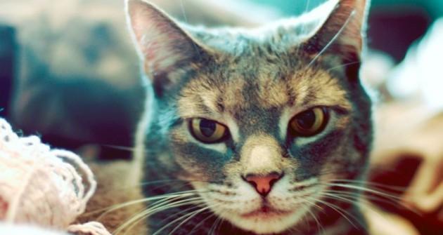 Macskabetegségek