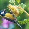 Madárbarátkerti praktikák − napraforgótányérok begyűjtése téli etetéshez