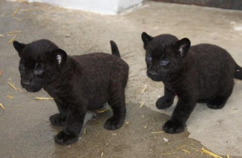 jaguarkolykok