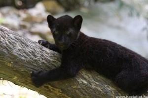 Két jaguárkölyök született a Szegedi Vadasparkban