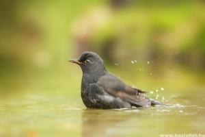 A madáretető fontos kiegészítője az itató