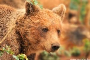 Túlszaporodtak a barnamedvék!