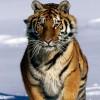 Nőtt a szibériai tigrisek száma Kína északkeleti vidékén