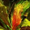 Akváriumi növény: a párducmintás kardfű