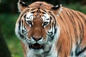 Oroszország - Veszélyben az amuri tigrisek és a leopárdok távol-keleti élőhelye