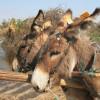 Macskaszemfüles szamarak Botswanában
