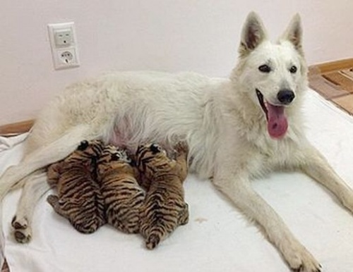 tigriskolykok_kutya1
