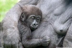 Tovább élnek a társaságkedvelő gorillák, mint zárkózott társaik