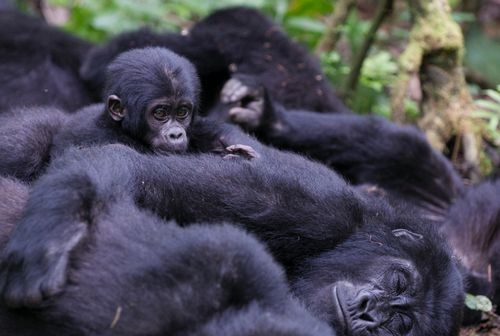 tarsasagkedvelo_gorillak