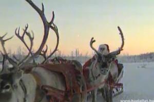 Rénszarvasokat kapott Mikulásra a Miskolci Állatkert
