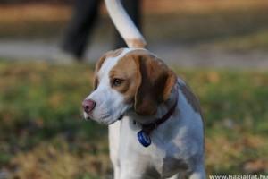 Beagle tenyésztő kiválasztása