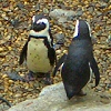 Félénk pingvinek Budapesten