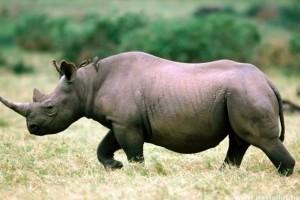 2012 az orrszarvúk tömeges mészárlásának éve volt!
